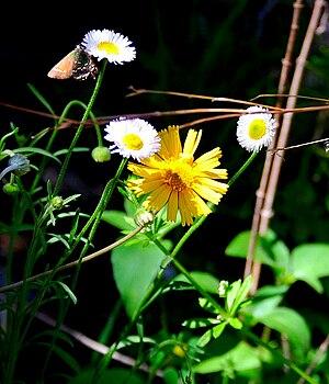 English: Wildflowers along the Barton Creek Gr...