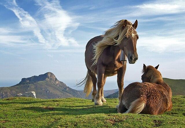Zwei Pottok- Ponys, im Hintergrund der Berg Aiako Harria.