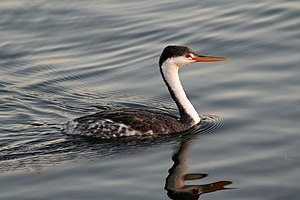 Clark's Grebe (Aechmophorus clarkii) taken at ...