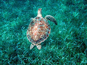 Chelonia mydas photographed underwater at Hol ...