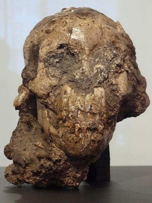 Cráneo de Selam, la Niña de Dikika