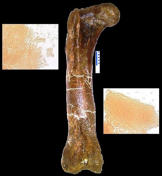 File:Tyrannosaurus peptides.jpg