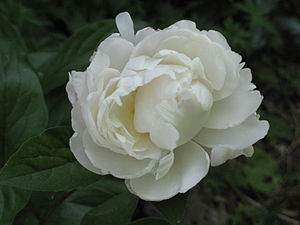 An unidentified white peony blossom.
