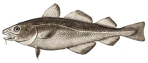 Atlantic cod fisheries have collapsed