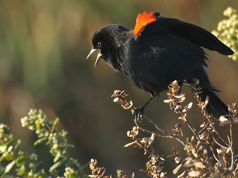 File:Blackbird Calling.jpg
