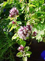 flores de orégano
