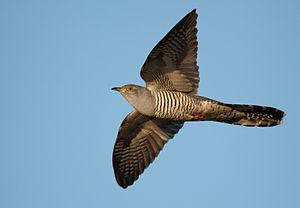 English: Common cuckoo Deutsch: Kuckuck