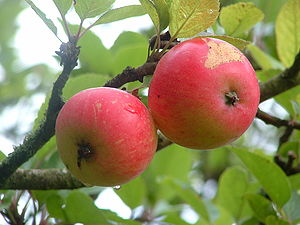 'Discovery' apples grown in Gartocharn