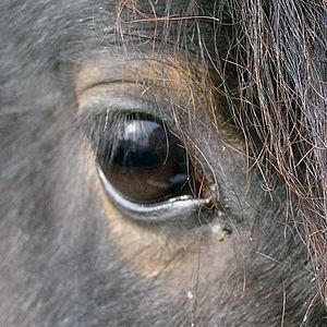 Eye of a bay horse, cropped square