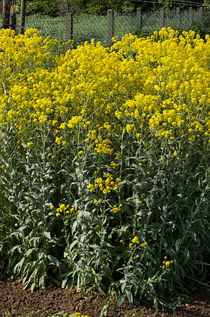 English: Isatis tinctoria, Brassicaceae, Woad,...