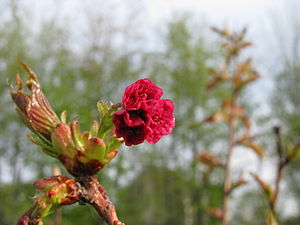 English: Bud just opening on a Prunus serrulat...