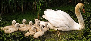 Mute Swan (Cygnus olor) with nine cygnets, pic...
