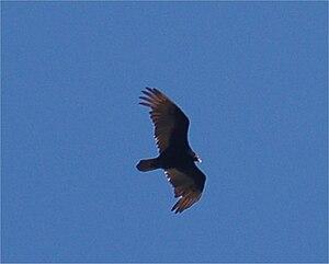 English: Turkey vulture, Cathartes aura, soari...