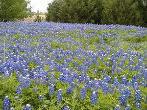 30px|Español Bluebonnets en el estado de Texas...