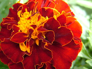 French marigold 1