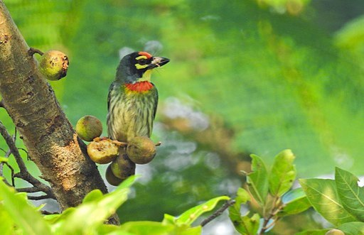 Coppersmith barbet by Krishnakumar