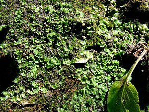 English: Liverwort Liverworts are small plants...