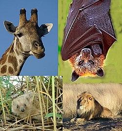 Searah jarum jam dari kiri atas: Jerapah, Rubah-terbang mahkota-emas raksasa, Singa, Hedgehog