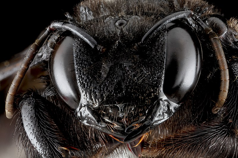 File:Xylocopa cubaecola f face.jpg
