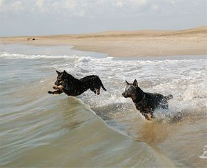 Dogs love the beach too. Image via Wikipedia.