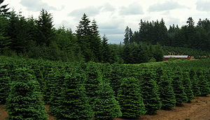 Christmas tree farm near Redland, Oregon. Phot...