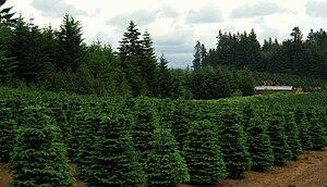 Christmas tree farm near Redland, Oregon. Phot...