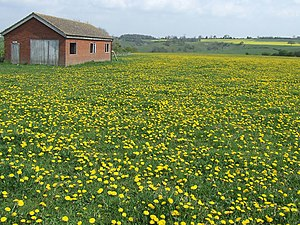 English: Dead Football Ground with Dandelions,...