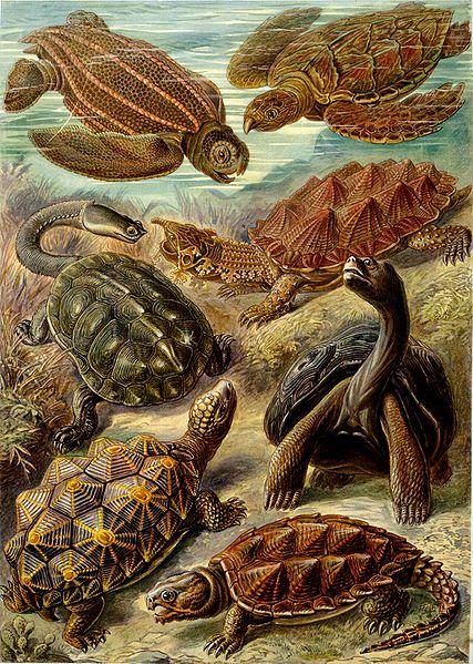 ملف:Haeckel Chelonia.jpg