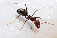 Wikipedia: Meat eater ant feeding on honey