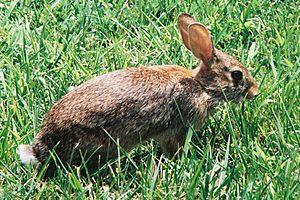 Wild City Rabbit