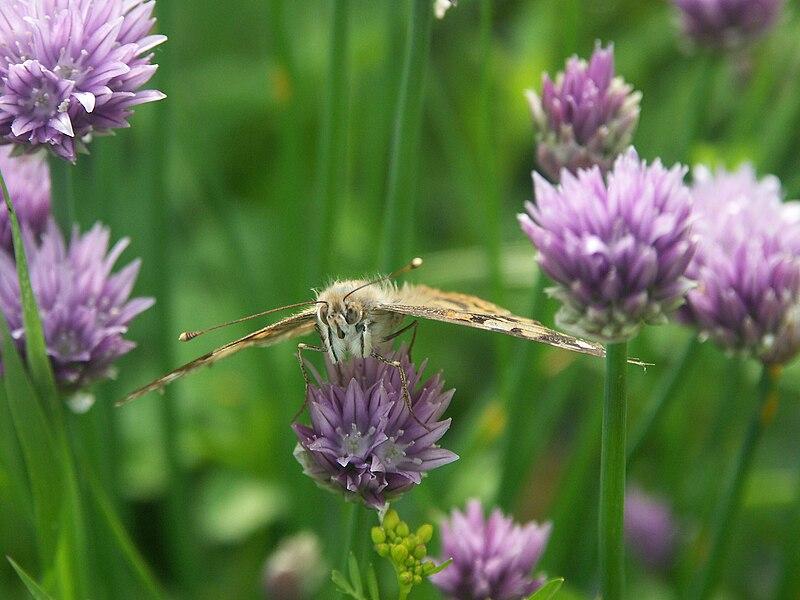 File:Schmetterling.jpg