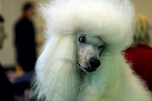 A Standard Poodle at the 2007 Crufts Dog Show.
