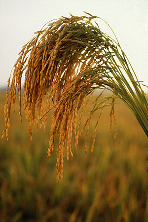 Long grain rice, tan renga, hunger, worldwide, nature,
