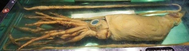 Queensland Museum & Science Centre - Joy of Museums - Giant Squid