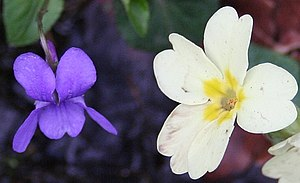 English: Violet and Primrose In Mayalls Coppic...
