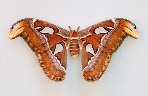 Female Atlas Moth (click to embiggen)