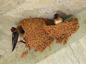 A pair of Cliff Swallows (Petrochelidon pyrrho...