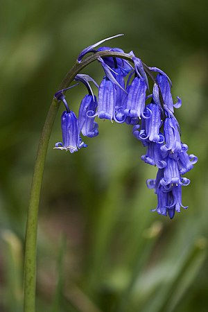 English: Hyacinthoides non-scripta (Common Blu...
