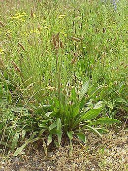 Plantago lanceolata plant.jpg