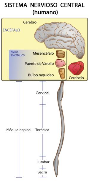 Español: Sistema Nervioso Central Humano. Este...