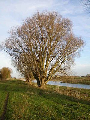 English: 2 Ash trees, growing close to the Riv...