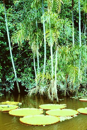 English: leaves of the Vicoria Regia on tribut...