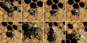 *(fr)Naissance d'une abeille noire (Apis melli...