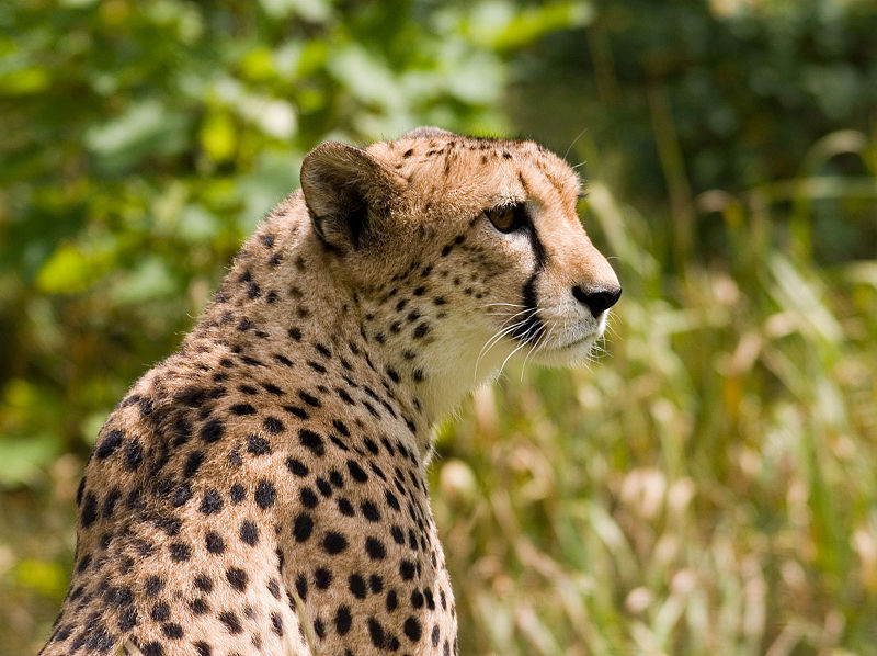 Berkas:Cheetah4.jpg