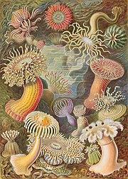 Sea anemones from Ernst Haeckel's Kunstformen der Natur (Artforms of Nature) of 1904.
