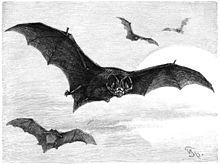 220px-Mopsfledermaus-drawing.jpg (220×164)
