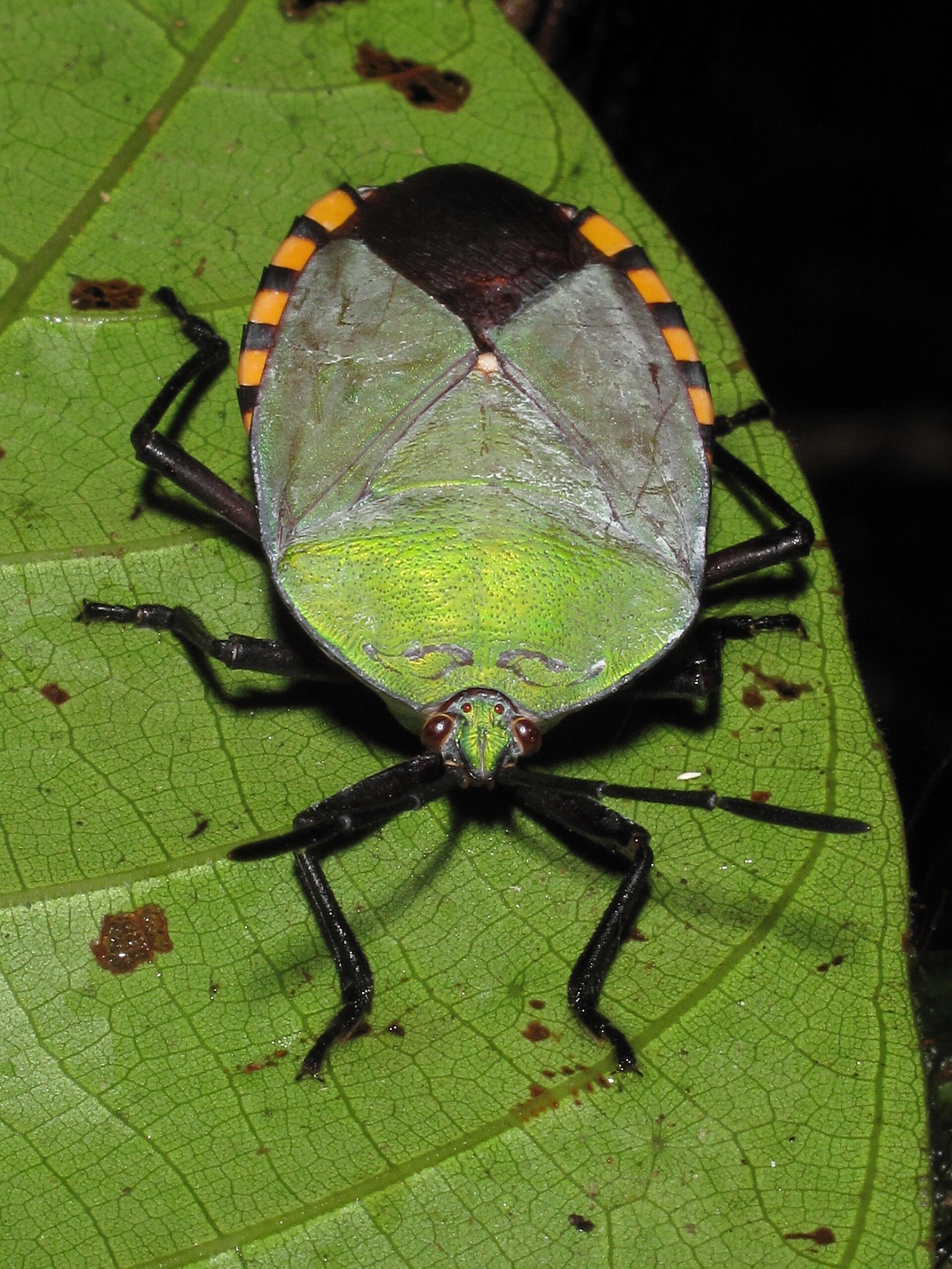 Tessaratomidae Wikipedia