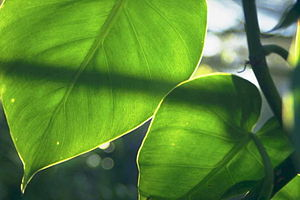 Sunlight Through Leaves Flickr.com - image des...
