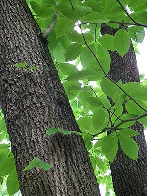 Deutsch: Gurken-Magnolie (Magnolia acuminata)