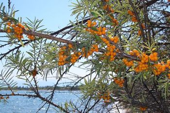 E8304-Kosh-Kol-sea-buckthorn